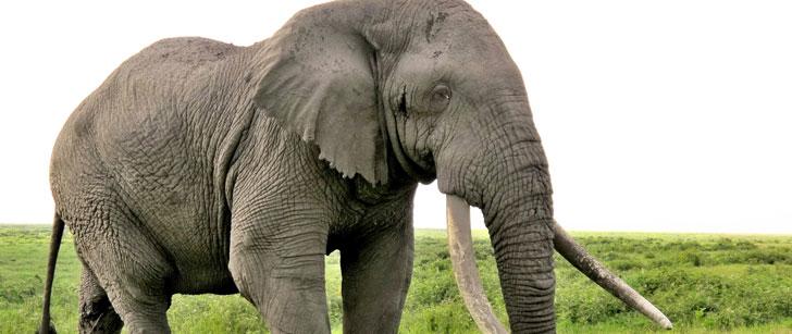 L'éléphant mange 200 kg de végétaux quotidiennement !