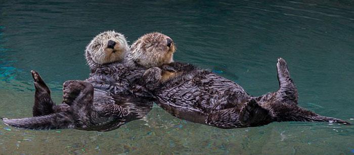 Les loutres de mer se tiennent la main pour dormir !