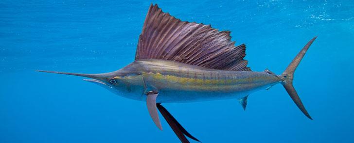 le poisson le plus rapide au monde peut atteindre une vitesse de 110 km  h
