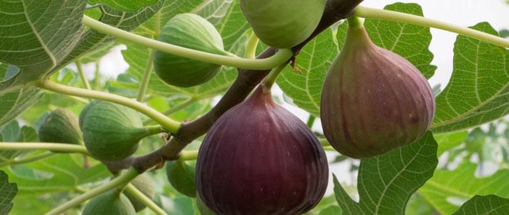 Le figuier est la première plante cultivée par l'homme !
