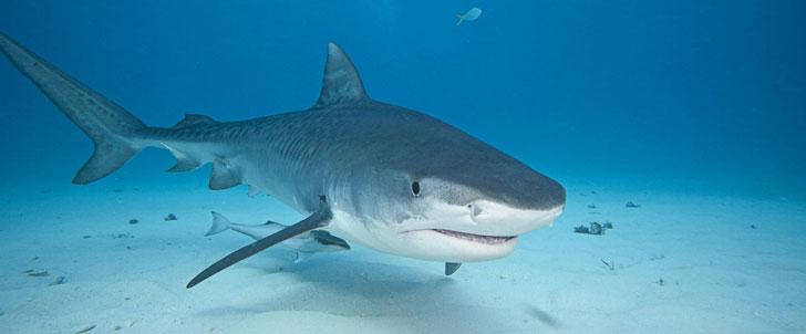 Les requins n'ont pas d'os dans leur corps !