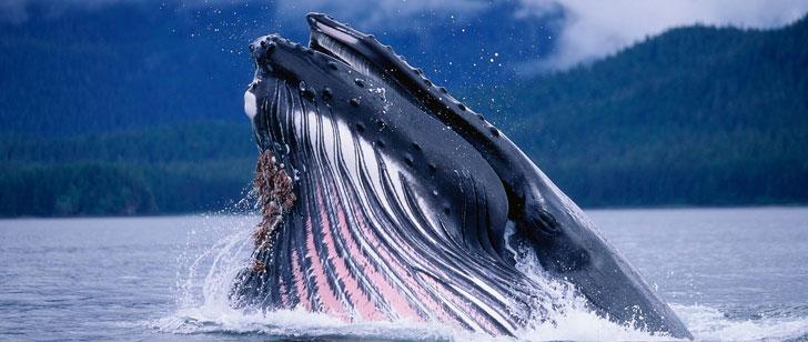 Les baleines bleues peuvent manger un demi-million de calories en une seule bouchée !