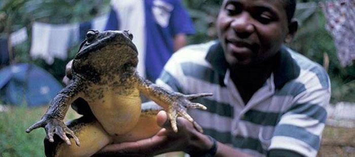 La plus grande grenouille de la planète est de la taille d'un lapin !