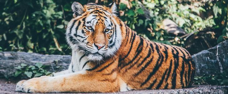 Un tigre peut manger jusqu'à 40 kilos de viande en un seul repas !