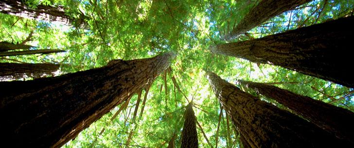 L'arbre le plus haut du monde mesure 115.55 mètres !