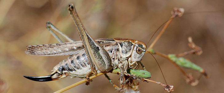 L'animal aux plus gros testicules est un insecte !