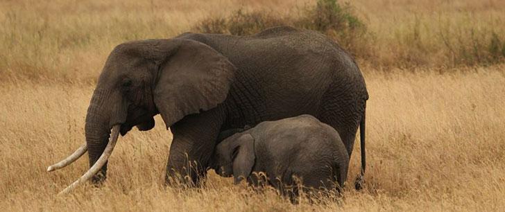 La durée de gestation d'un éléphant est de 22 mois !