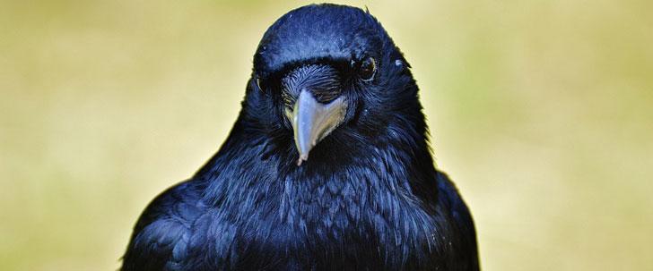 Les corbeaux sont paranoïaques !