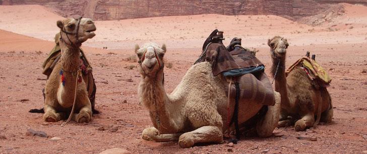 Douze chameaux ont été disqualifiés d'un concours de beauté saoudien pour avoir reçu des injections de Botox !