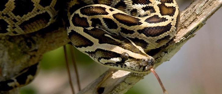Après chaque repas, le cœur du python birman double de taille !