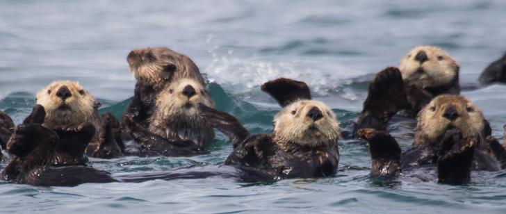 le saviez-vous?Les loutres de mer sont des violeurs de bébés phoques et des nécrophiles ! Loutre-de-mer