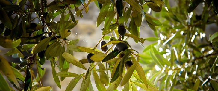 Le saviez-vous?La Crète compte 40 millions d'oliviers, environ 60 par habitant ! Olivier-crete