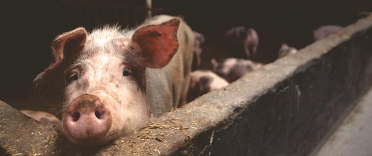 Plus de la moitié des porcs du monde vivent en Chine !