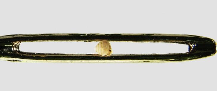Le plus petit escargot du monde est 10 fois plus petit qu'un chas d'aiguille !