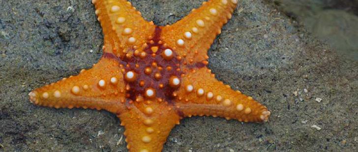 Le Saviez-Vous ? Les étoiles de mer peuvent faire repousser leurs bras. Et un seul bras peut régénérer tout un corps ! Etoile-mer