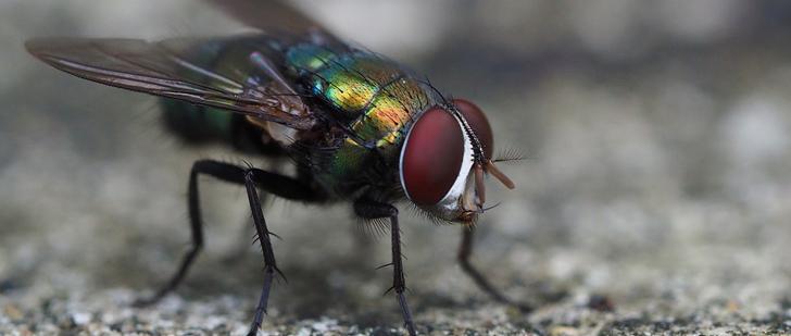 Les mouches défèquent toutes les 5 minutes !