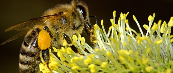 Le saviez-vous ? La reine des abeilles peut pondre jusqu'à 1500 œufs par jour ! Reine-abeille
