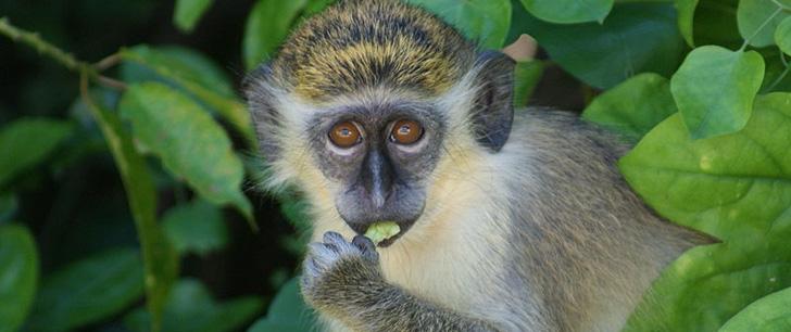 Le saviez-vous?Un singe serait meilleur en bourse qu'un trader Singe