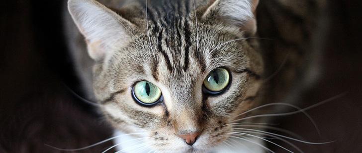 Le saviez-vous?Un chat a 32 muscles dans chaque oreille ! Chat