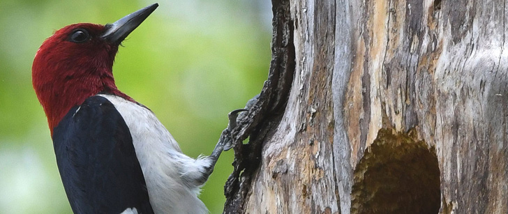 Le saviez-vous?Un pic peut picorer un arbre 20 fois par seconde ! Pic