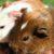 cochon d'inde préhistorique