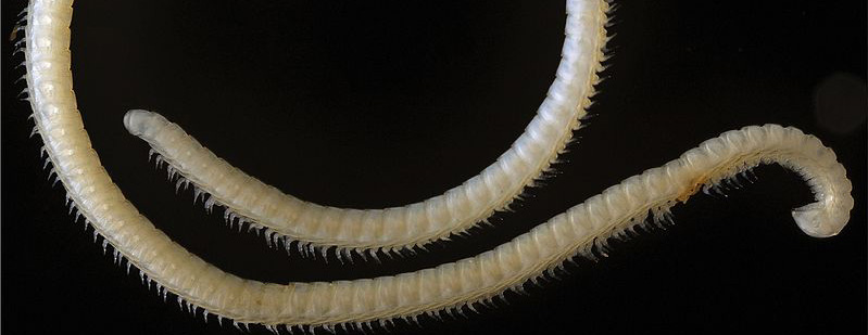 Le Saviez-Vous ? Il existe un animal qui a 414 pattes 200 glandes venimeuses et quatre pénis ! Illacme_tobini
